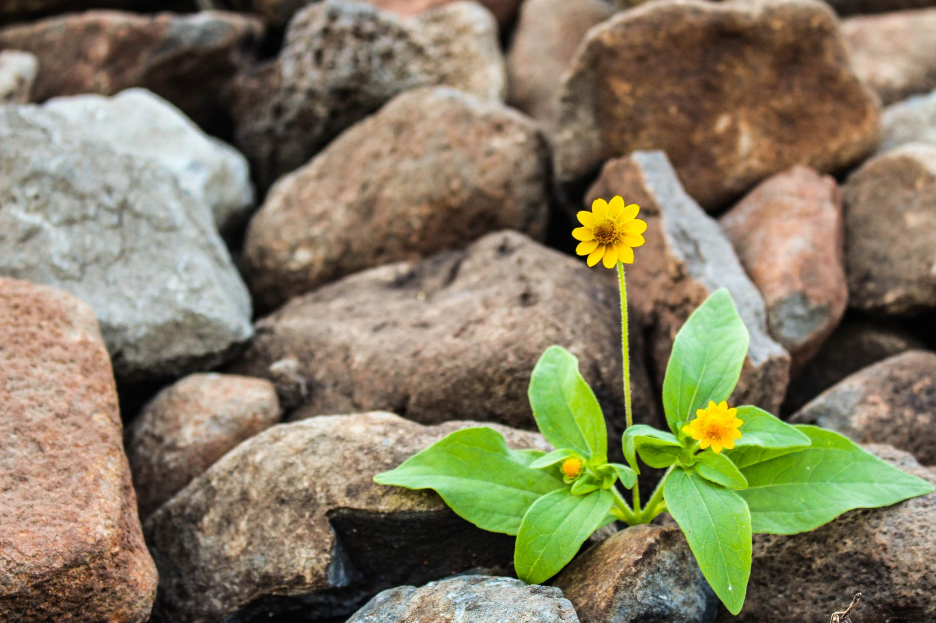 two yellow flowers surrounded by rocks